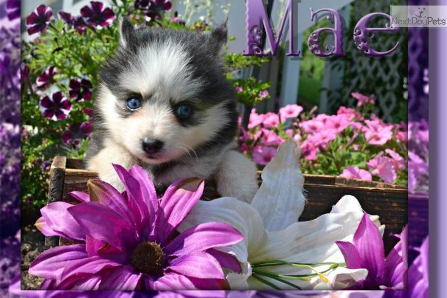 Pomsky Puppy For Sale Near Akron Canton Ohio 8850e8be A371