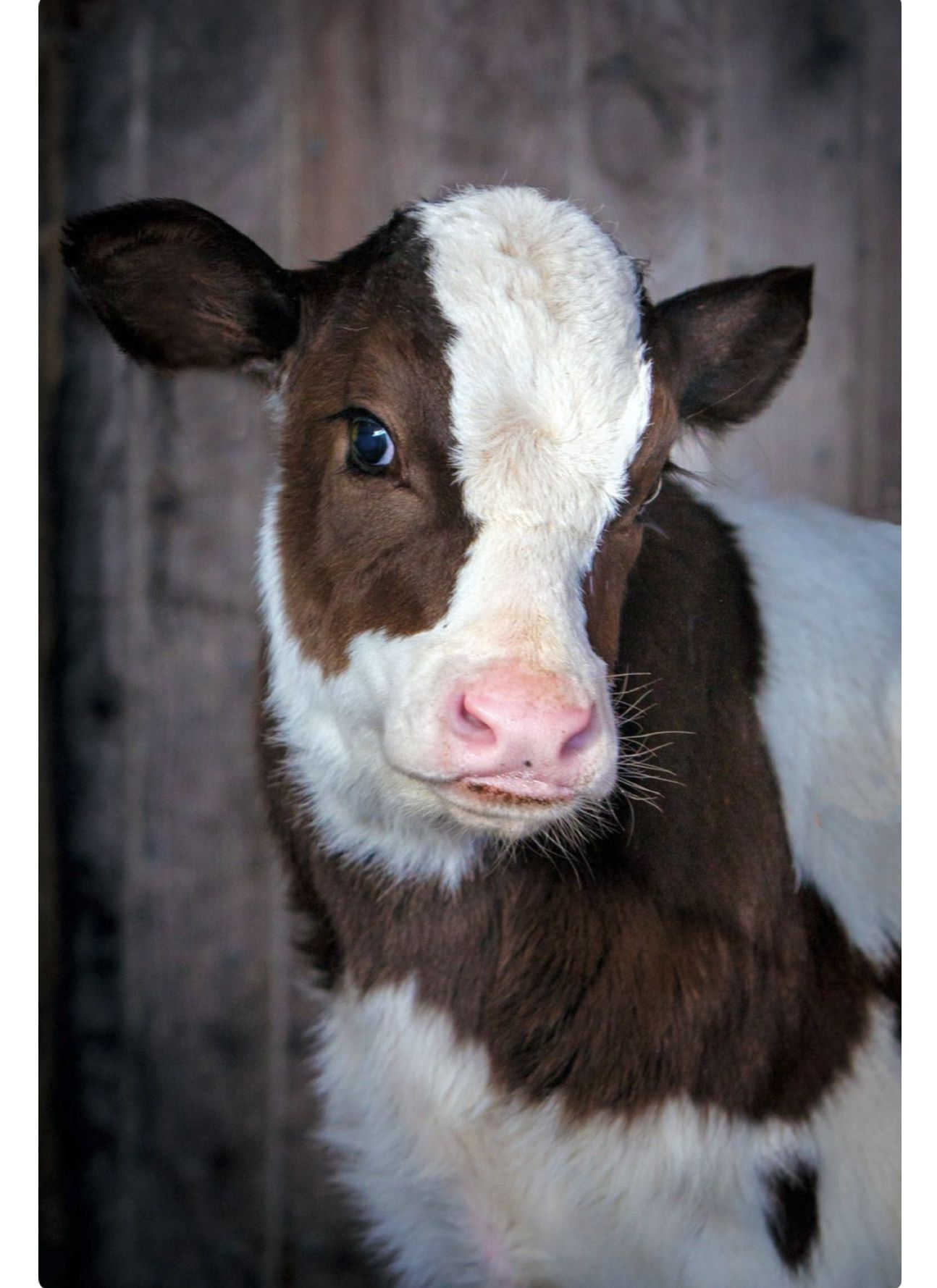 A Coy Look From A Cute Brown And White Calf Cute Baby Cow Cute Cows Cute Baby Animals