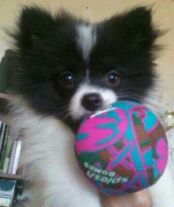 Gallery For Gt Black And White Parti Pomeranian Puppies