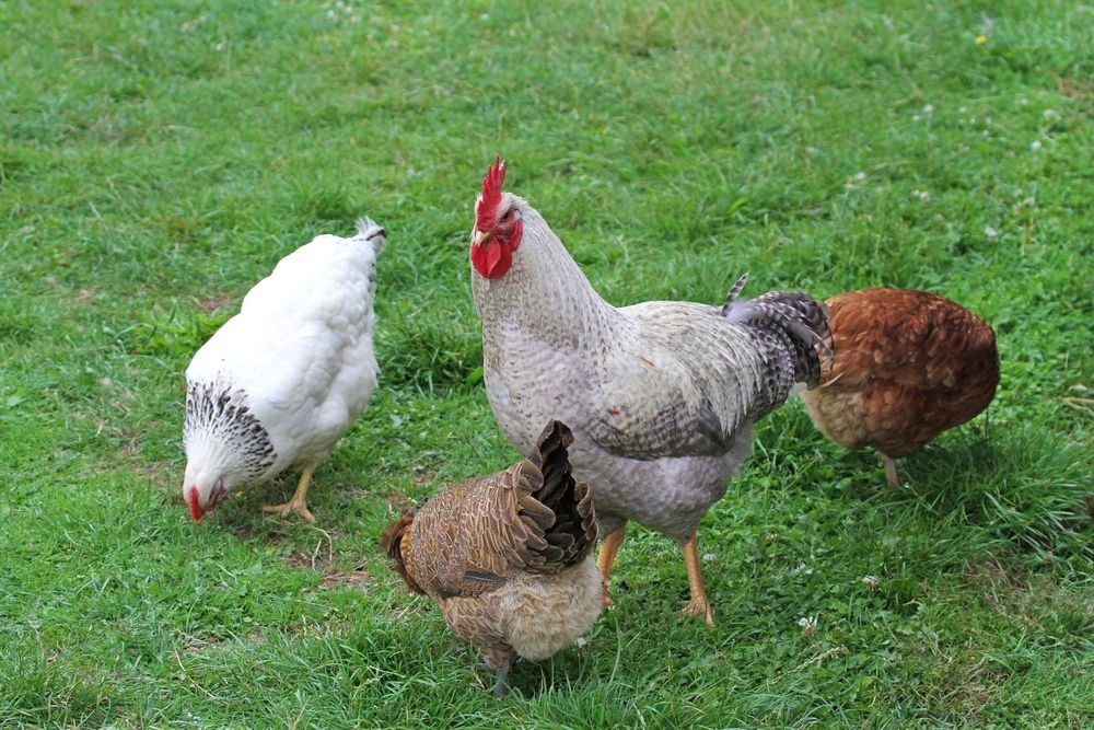 How To Tell A Rooster From A Hen Male Vs Female Differences Rooster Sexing Chickens Laying Hens