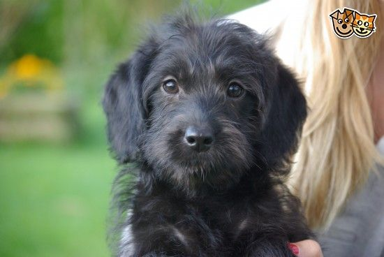 Lovely Black Silver Miniature Labradoodle Puppies Labradoodle
