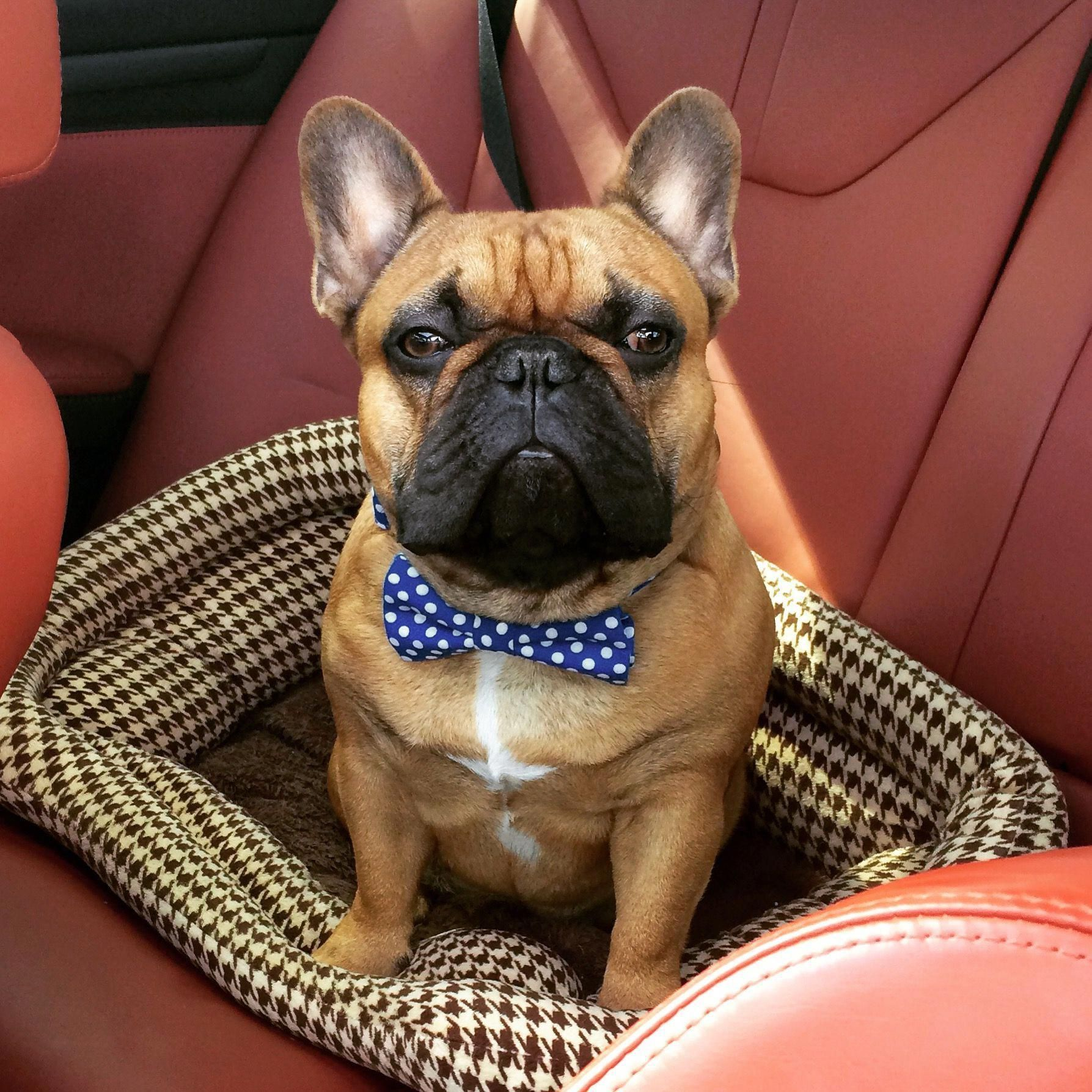 The most handsome and Majestic French BULLDOG . buldog