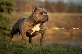 American Bully Mozberg American Bully Dogs My Pictures