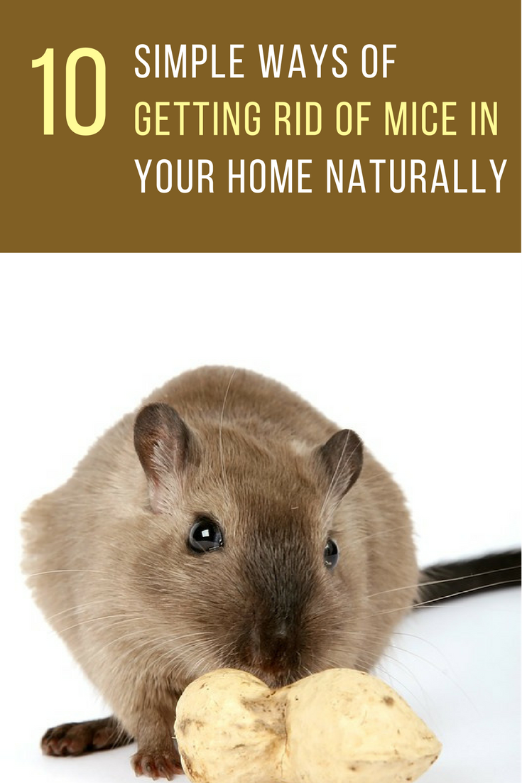 simple ways to get rid of mice naturally in your home mice