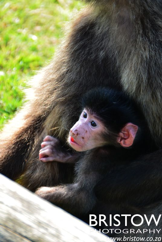 New born baboon, Facebook actually picked up on the face and asked me to name who this is.... photographed by Bristow Photography. www.bristow.co.za
