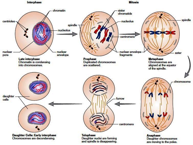 The Late Interphase Cell And The Mitotic Stage Of The Cell