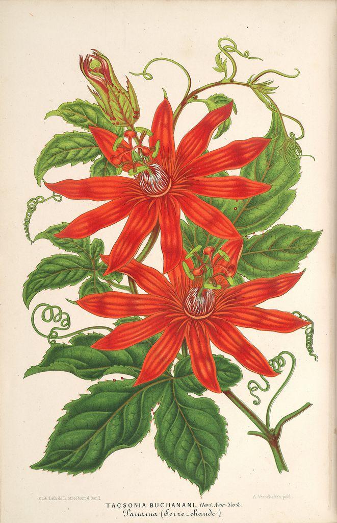 Passion flower vine. Passiflora vitifolia (1867)