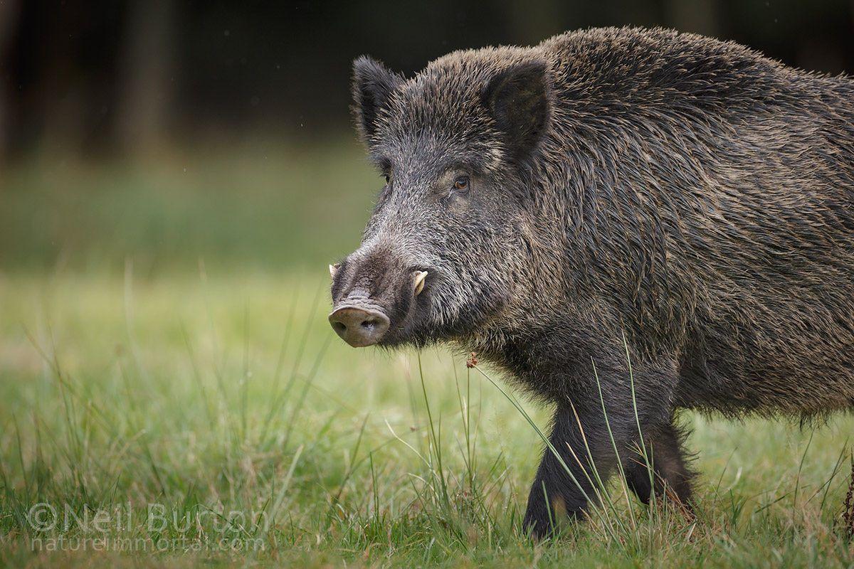 Boar Time Of Year Wild Boar Animals Wild Boar