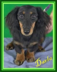 Darla Puppies For Parole Is An Adoptable Dachshund Dog In St