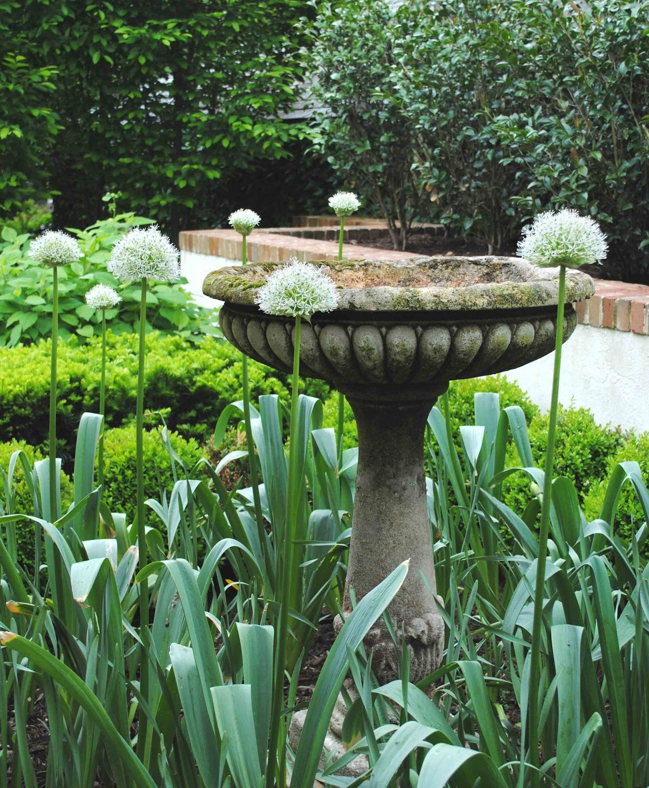 Alliums Surrounding The Birdbath In The Garden ~ Loi Thai