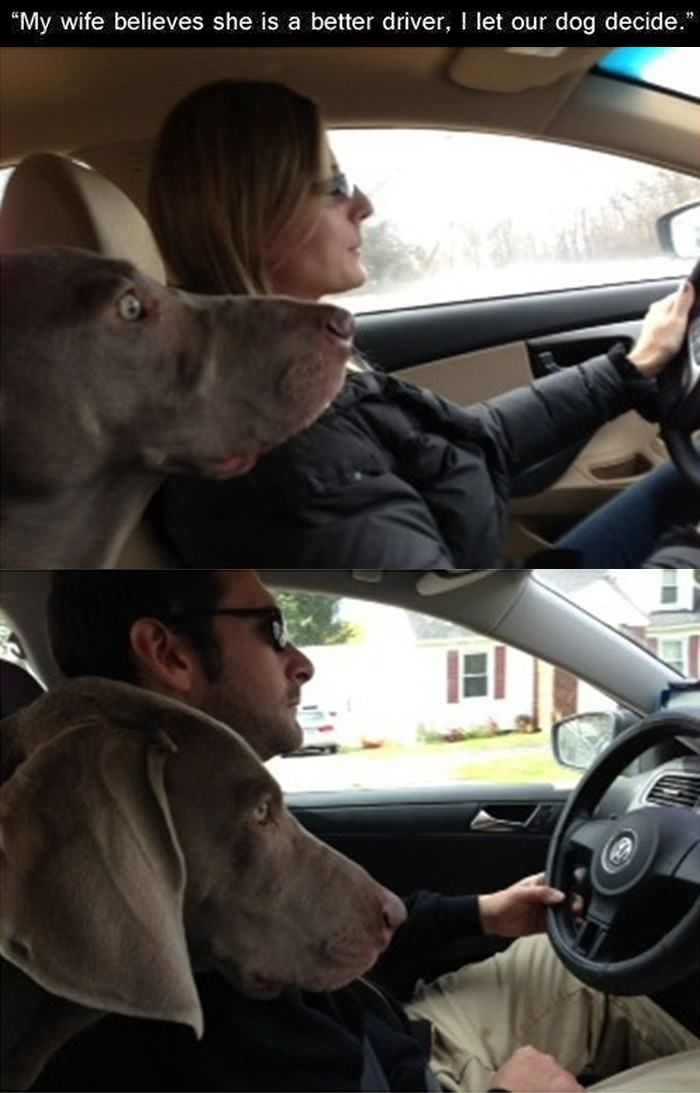 Dog Driving Meme : driving, Man's, Friend., Funny, Driving, Quotes,, Memes, About, Girls,, Humor