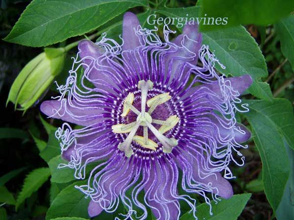 Passion Vines Plants Host Plant For Gulf Fritilary Variegated Fritilary Zebra Heliconius And Julia Butterflies Passiflora Plants Different Kinds Of Flowers