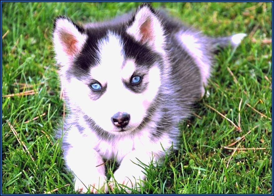 Cute Husky Puppies With Blue Eyes In Snow Wallpaper 28539 Usbdata