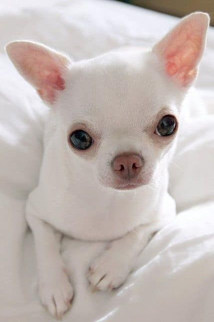 Popular Colors And Markings Of Chihuahua Dogs Baby Dogs Cute