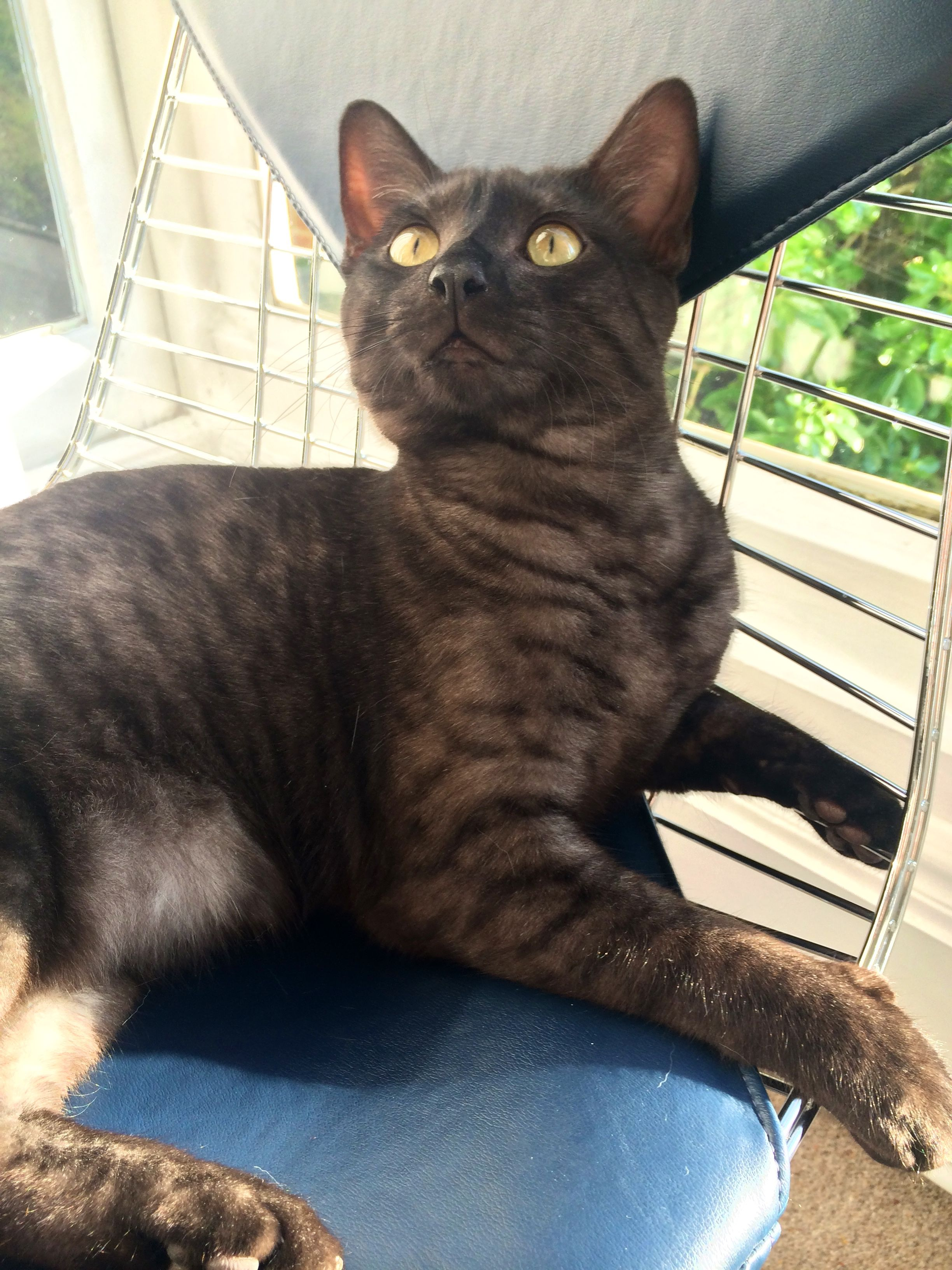Pin By Dani Havens On Crazy Cat Lady In Training Rare Cats Cute Cats And Kittens Egyptian Mau