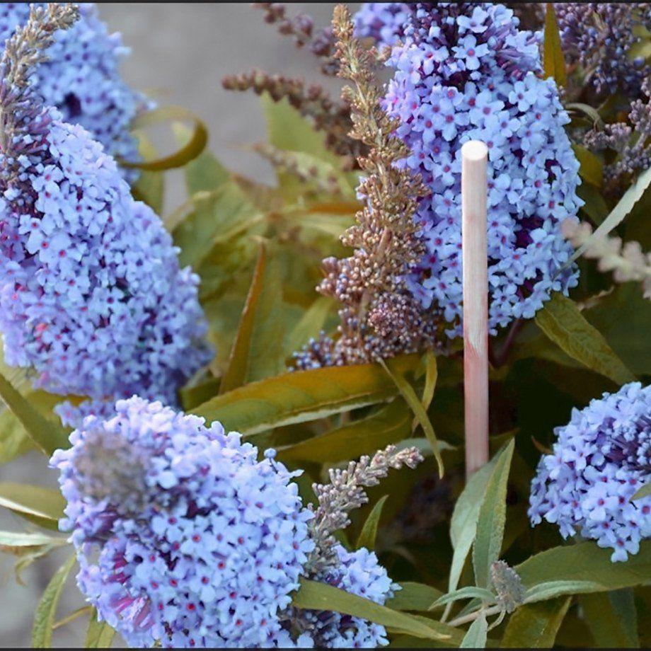 butterfly bush buzz sky blue butterfly bush plants and. Black Bedroom Furniture Sets. Home Design Ideas
