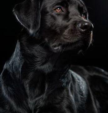 Imagenes Bonitas De Perros  Grandes Y De Color Negro