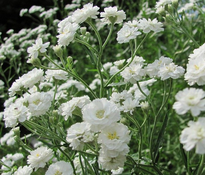 Gypsophila Paniculata Compacta Plena Baby S Breath Lily Garden Gypsophila White Gardens
