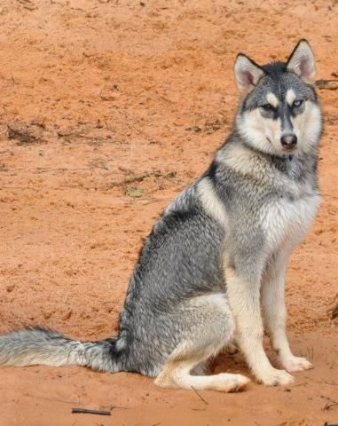 This Beautiful Native American Indian Siberian Husky Mix Is Coming
