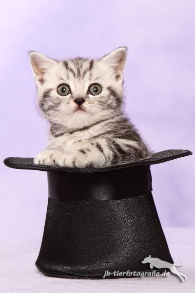 BKH Kitten black silber classic/ creme/smke schoko geb 1.4