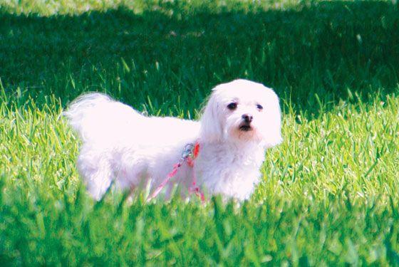 Leona Helmsley Dog Trouble Maltese Cutties Malteser Bilder