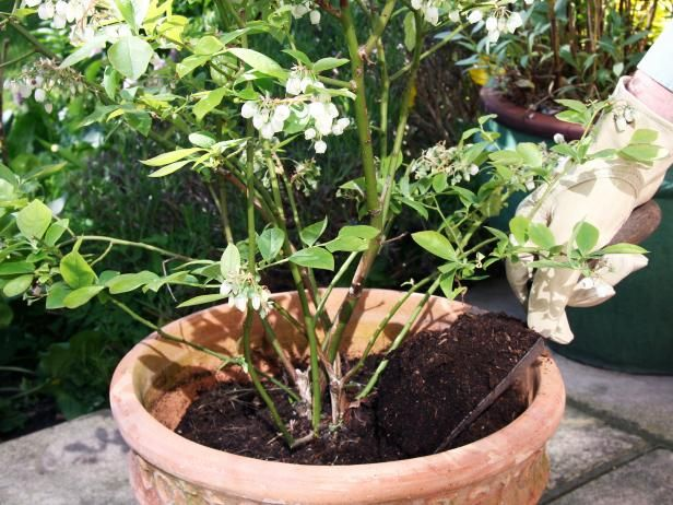 Blueberry Plants In Containers