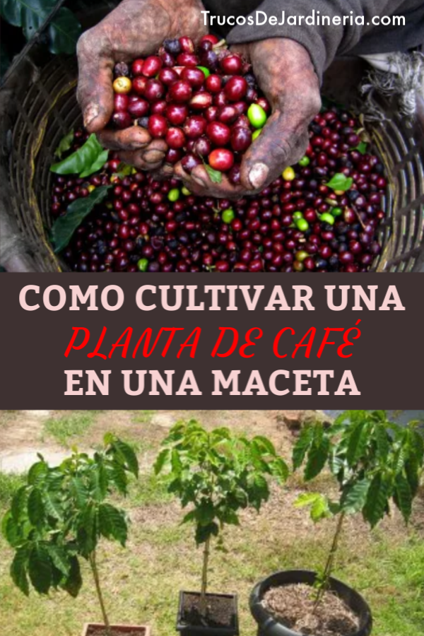 Como Cultivar Plantas De Café En Macetas Cultivo De Plantas Planta De Cafe Plantas De Banano
