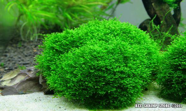 Shop For Cheap Fissidens Mini Aquariums & Tanks Fish & Aquariums Live Plant For Glass Aquarium Fish Tank
