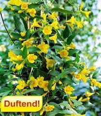 Bildergebnis Fur Schnellwachsende Kletterpflanze Winterhart A