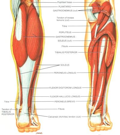 Posterior view of the Achilles tendon and posterior leg muscles ...