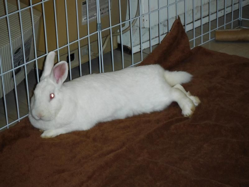 Adopt Scarlet Rose On Adoption Rabbit Adoption Rabbit