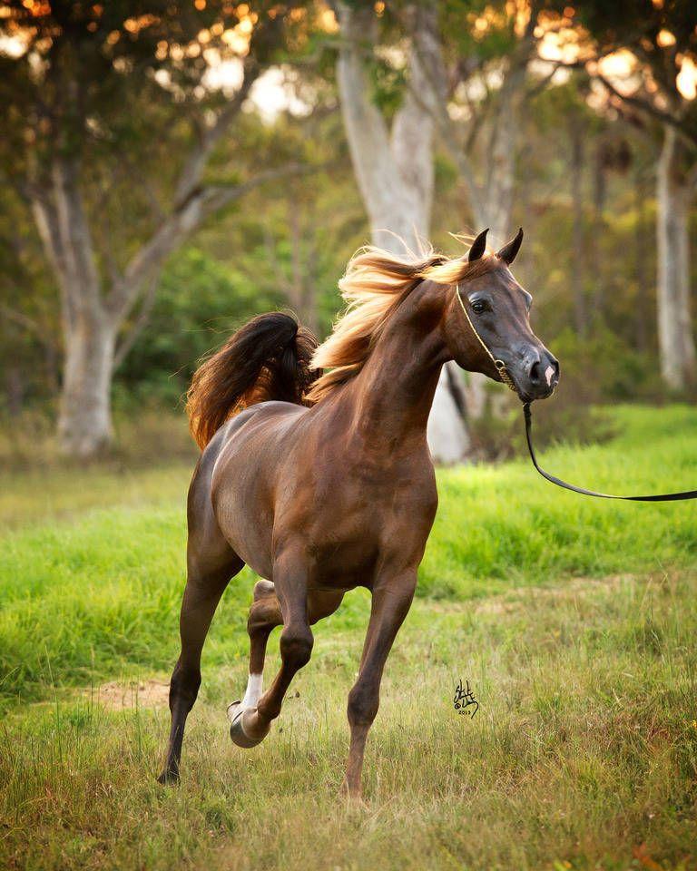 KONQUEST MI :: Mulawa Arabian Stud | Sydney Australia ...
