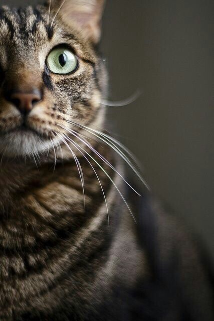 tabby cat MonChatDor #cat #chat #gato #adorable #catlover #catpassion #cute