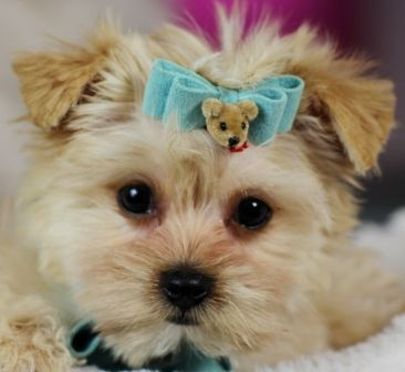 Morkie Puppies For Sale - Teacup Puppies Store | Dogs