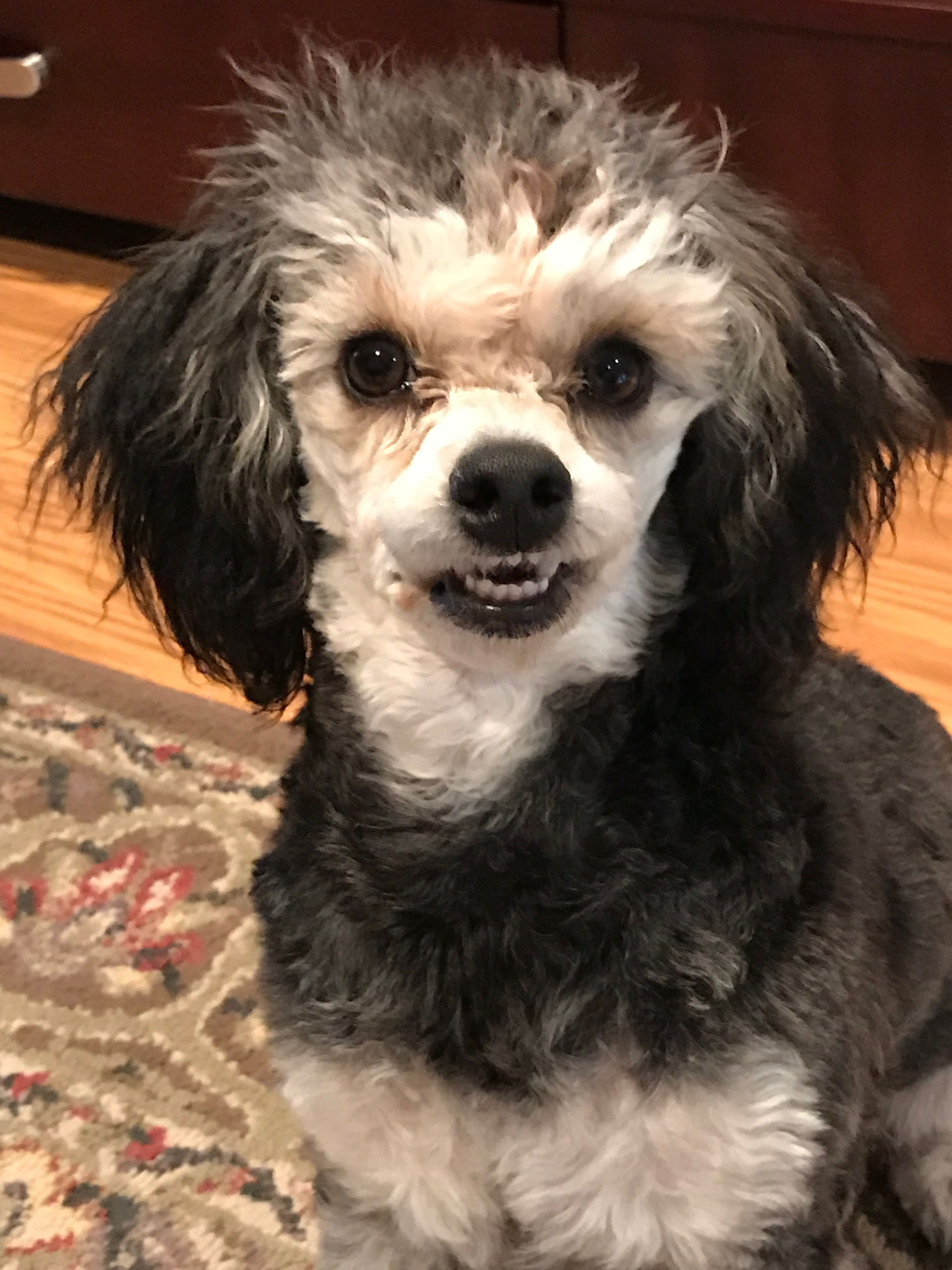 Say Cheese Zoey Toy Poodle 6 Months Poodle Poodle Mix Cute
