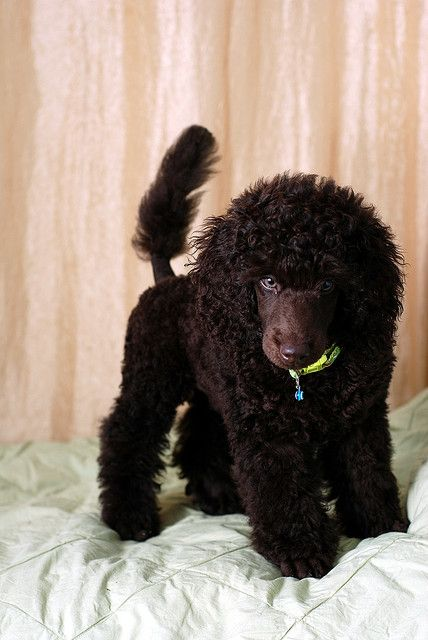 Brown Miniature Poodle Puppy Dog Haircuts Dogs Poodle Haircut