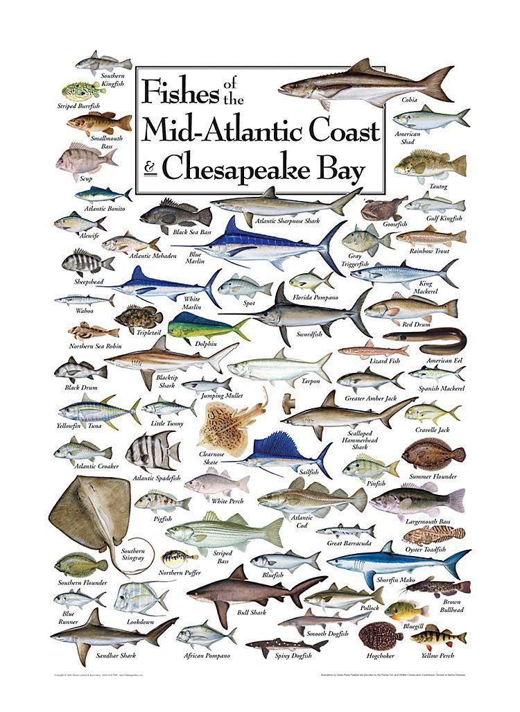 Fishes of the midatlantic coast and chesapeake bay