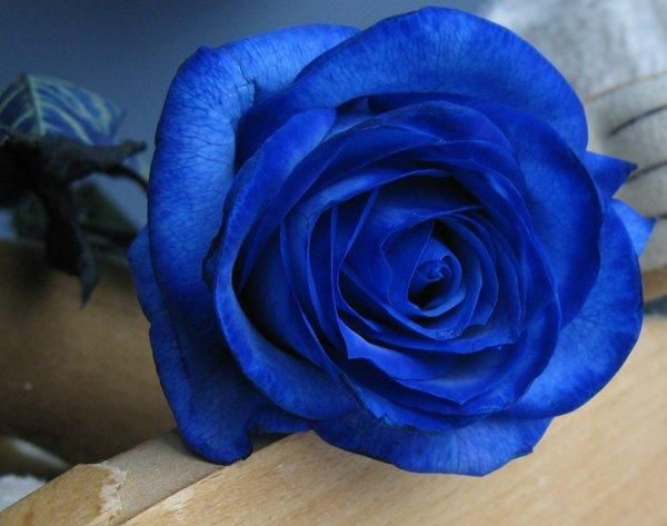 Blue Gift of Roses -- these are REAL,NOT Tinted ...M