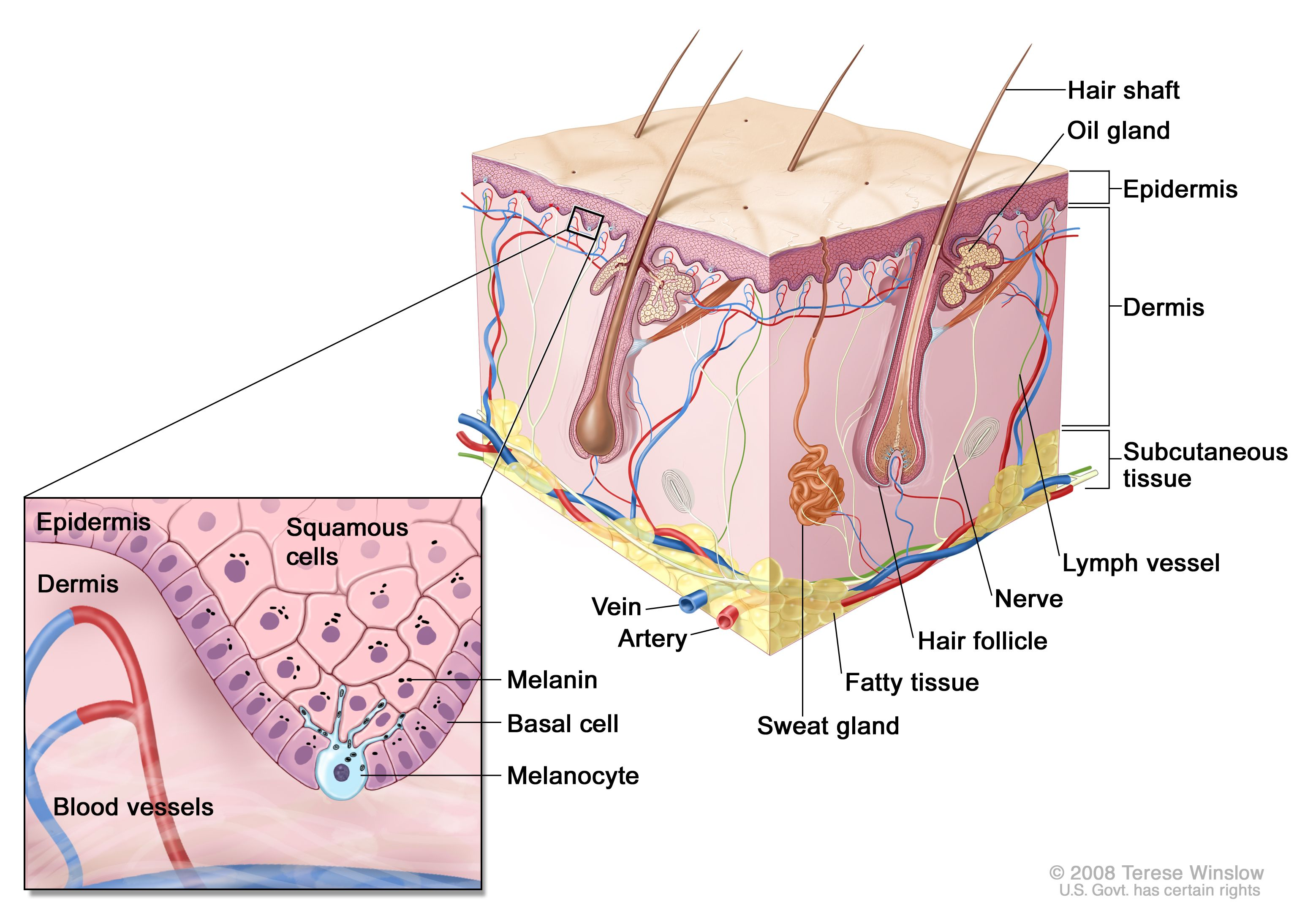 Integumentary system | Phlebotomy | Pinterest | Ap biology and ...