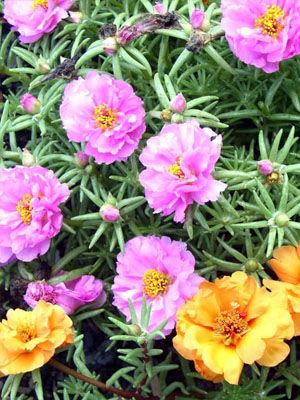 Portulaca Grow Guide Portulaca Flowers Plant Pests Beautiful Flowers Garden