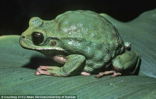 Mother marsupial frogs such as Gastrotheca monticola (pictured) from northern Peru brood e...
