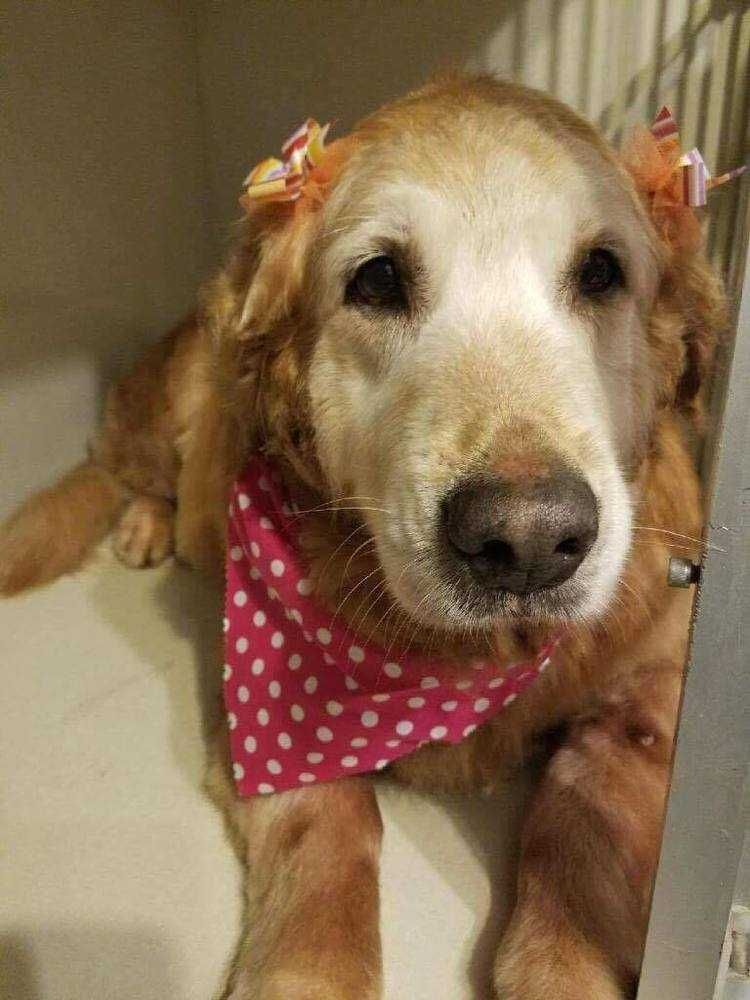 Golden Retriever Dog For Adoption In Mount Laurel Nj Adn 652661 On