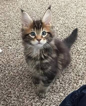 Image Result For Tortie White Maine Coon Brown Feline Friends Maine Coon Maine Coon Kittens