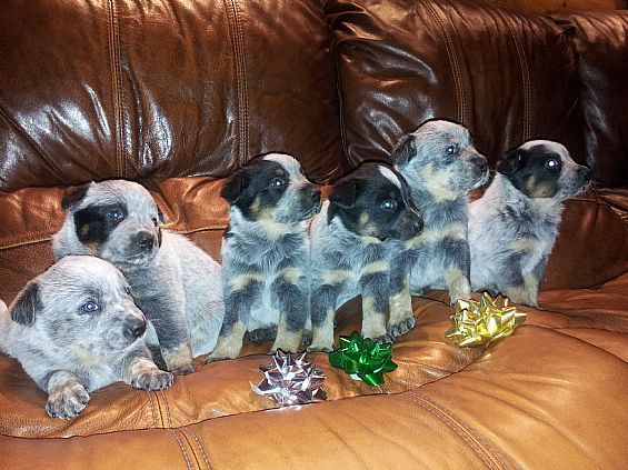 Australian Blue Heeler Puppies For Sale In Summit Ny