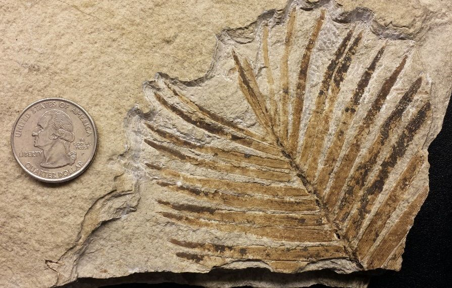 Zamites feneonis - Fossil Plants - Gallery - The Fossil Forum