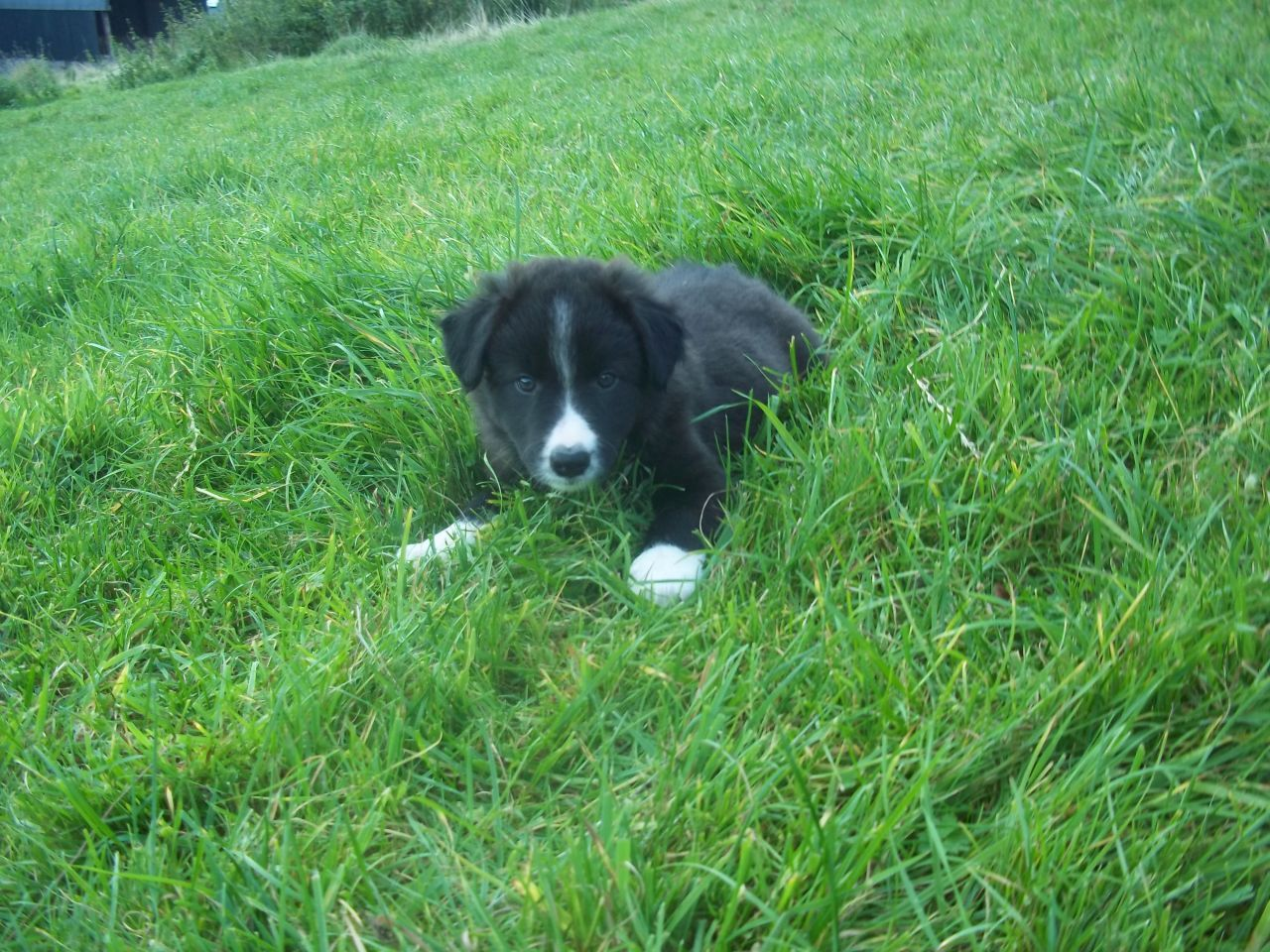 welsh sheepdog photo | Black&White Welsh sheepdog puppy | Llanwrda, Carmarthenshire ...