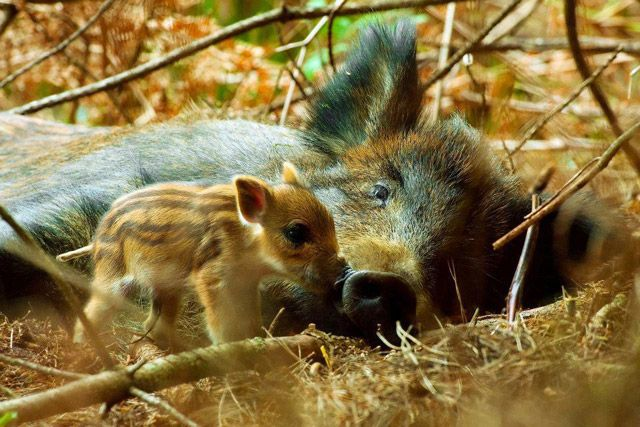 Mother wild boar with piglet. I'm melting.