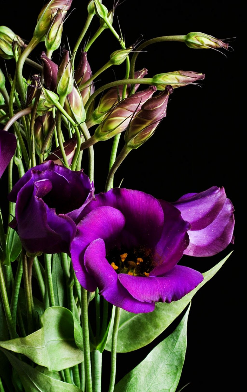 How to Grow Lisianthus from Seed Flowers, Purple flowers