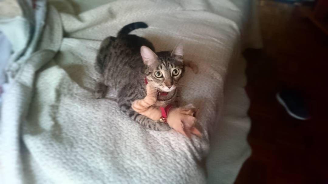 BMO v/s Retador incógnito #bullying #pelea #fight #gato #cat #kitten #BMOtheCat