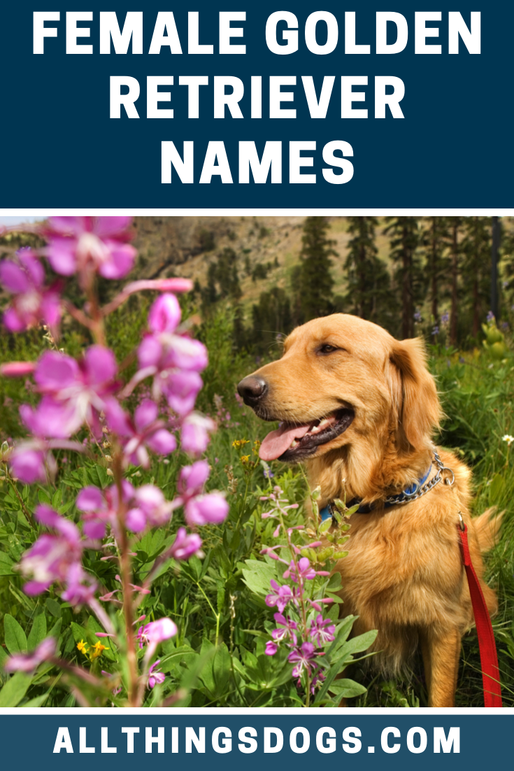 If You Are Bringing Home A Female Golden Retriever We Recommend Using Gorgeous Classic And Vi Golden Retriever Names Female Golden Retriever Golden Retriever